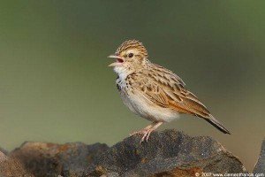 Red-winged Bush Lark