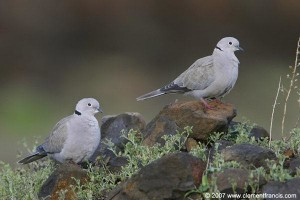 Collared Dove Pair