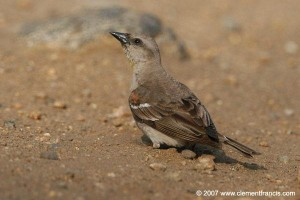 Chestnut-shouldered Petronia