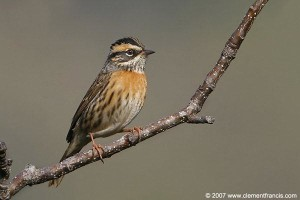 Rufus breasted Accentor