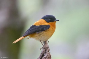 Black & Orange Flycatcher - Male