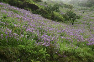 The Kurinji in bloom at the Bababudan Hills