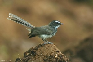 Spotted Fantail – near Camp Leopard Rock