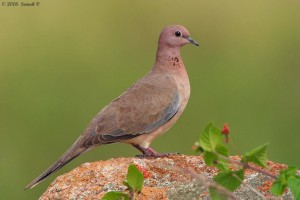 Laughing Dove – near Camp Leopard Rock