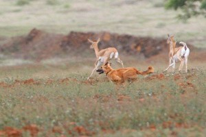 The fleeing Black Bucks and the dog menace