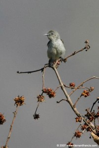 Plain Flowerpecker
