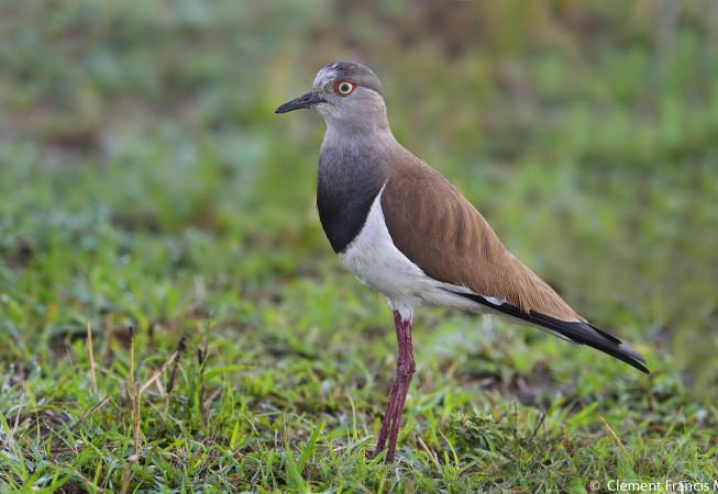 Senegal Plover
