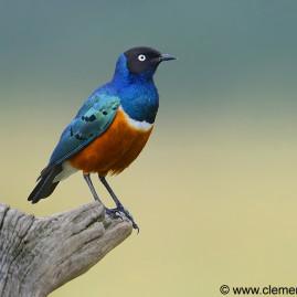 Mara Birds
