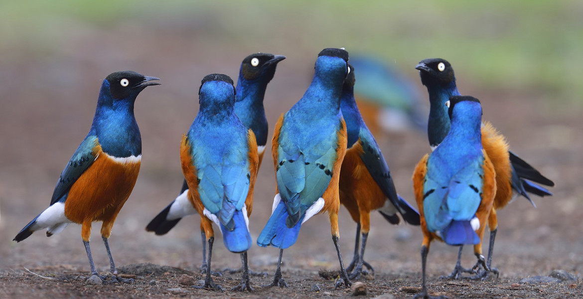 Superb Starling roundtable