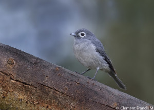 White-eyed Slaty Fly Catcher