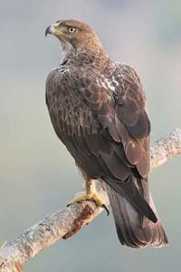 eagle_bonelli_01