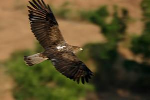 eagle_bonelli_12