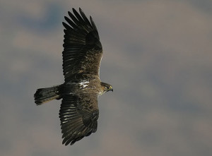 eagle_bonelli_20